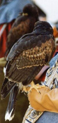 Immagine corso di falconeria